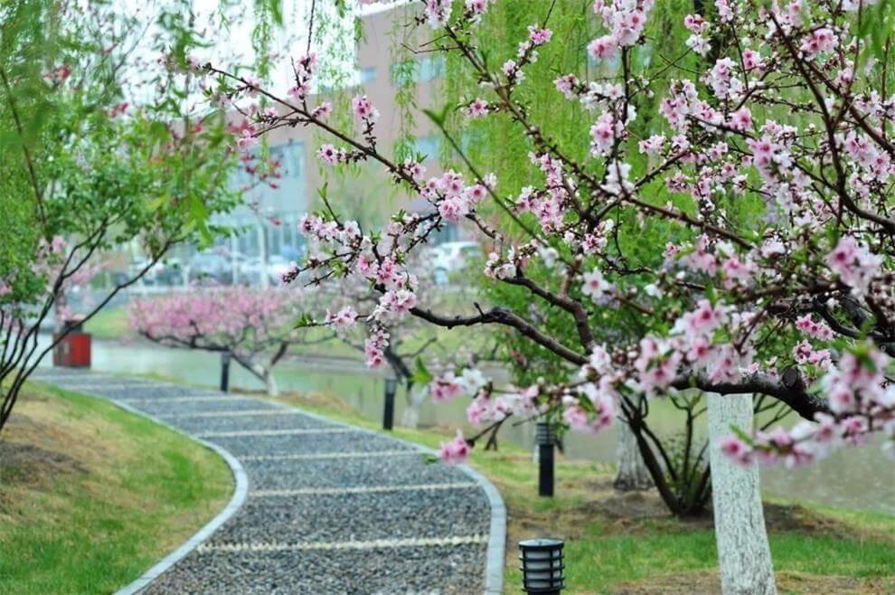 天津大学A-Level国际教育中心春季景观图集